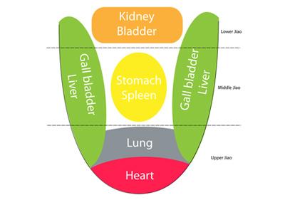 tongue organs